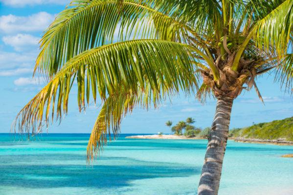 Bahamas palm tree